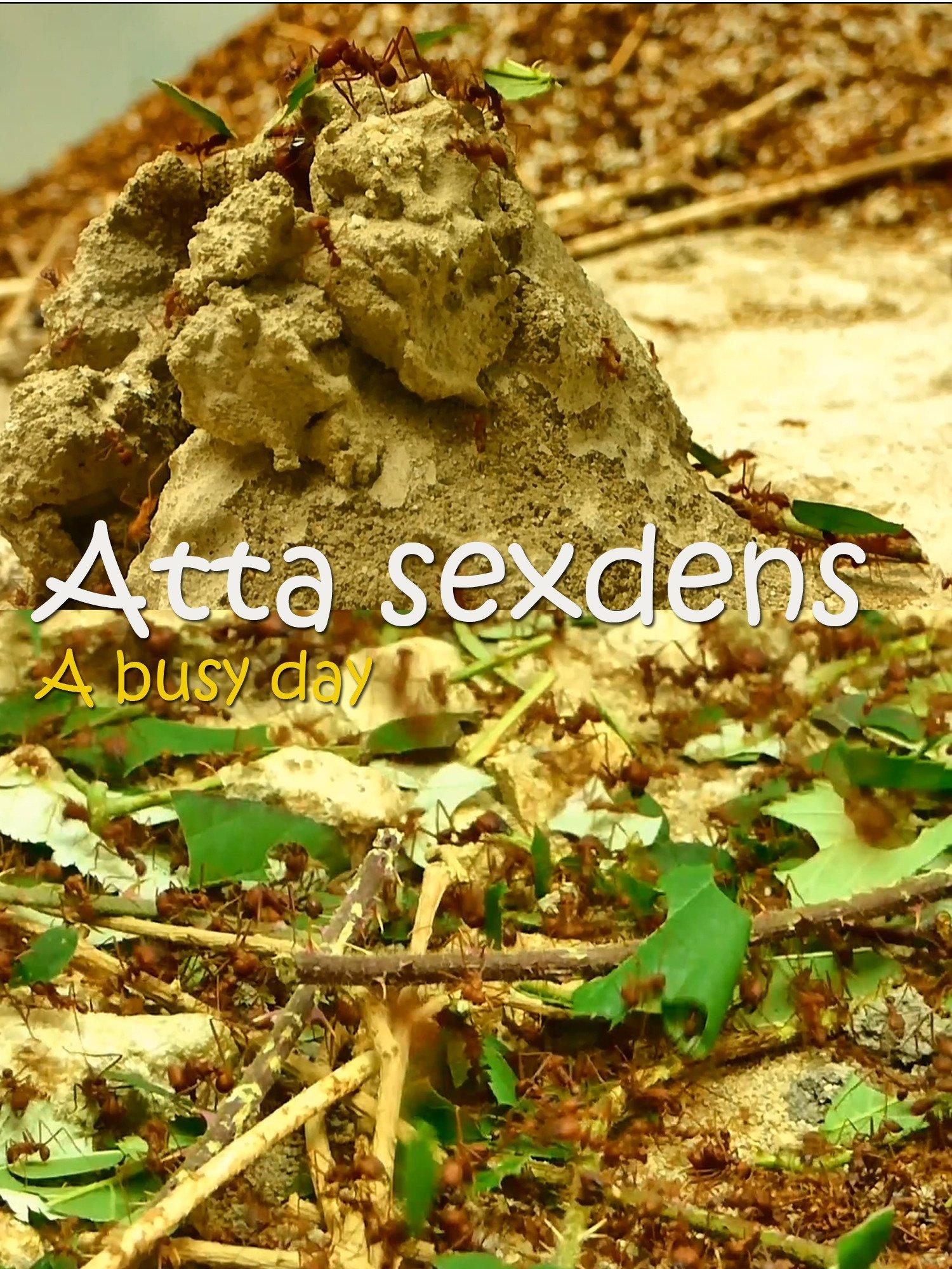 Atta sexdens. A busy day