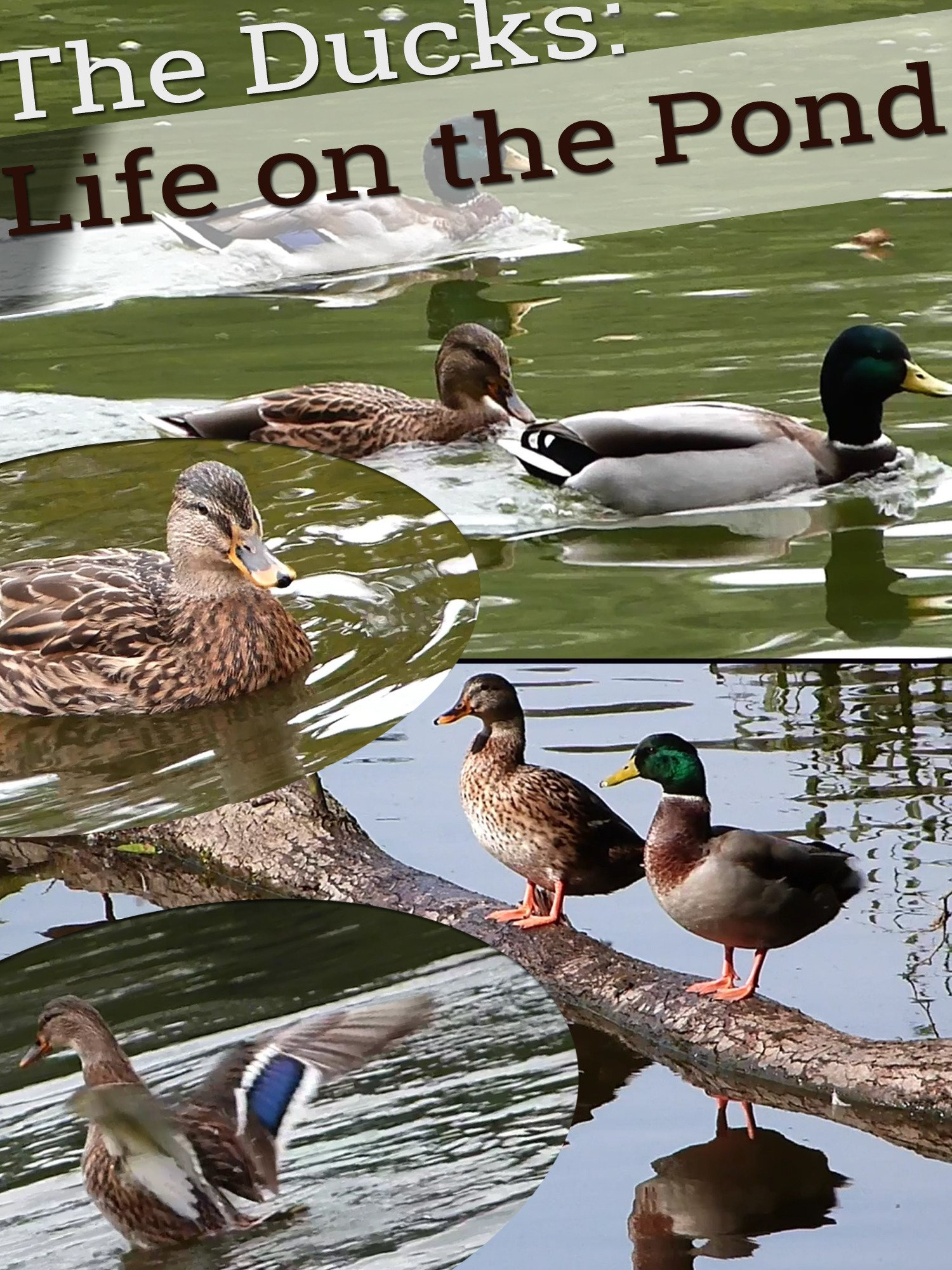 The Ducks: Life on the Pond