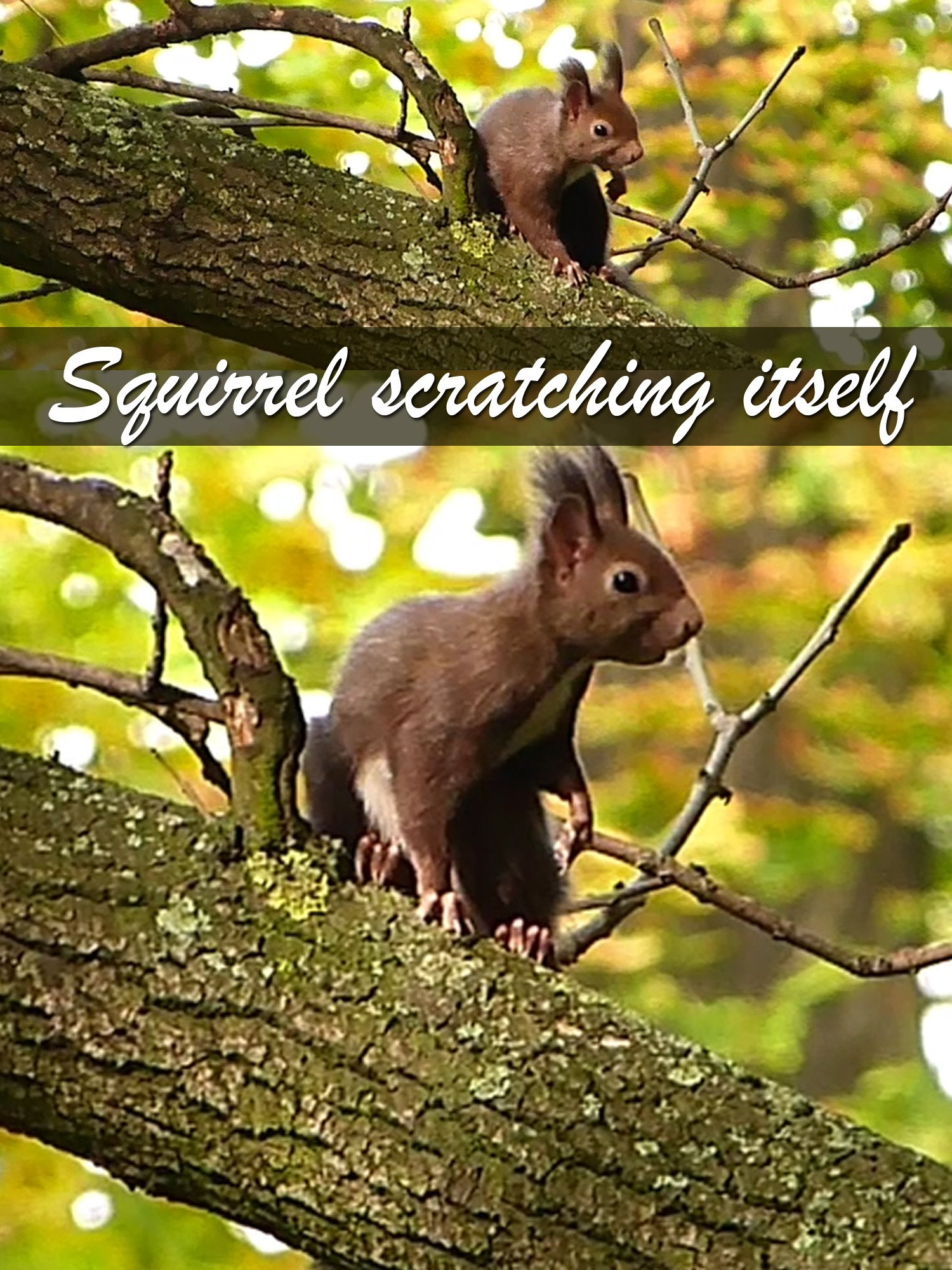 Clip: Squirrel scratching itself