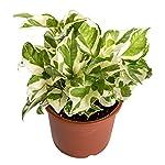 Nurturing Green Nurturing Green White Pothos Indoor Plant