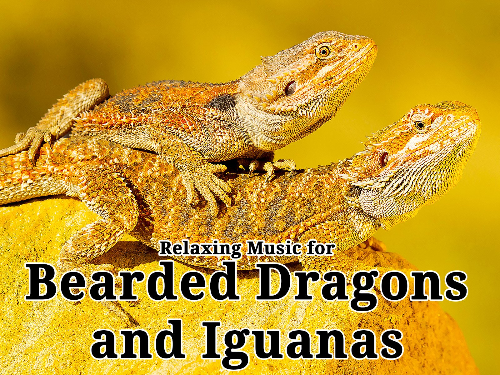 Relaxing Music for Bearded Dragons and Iguanas