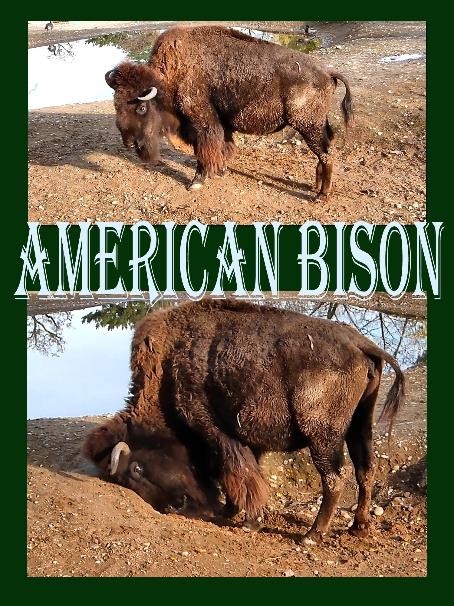 American Bison on Amazon Prime Instant Video UK