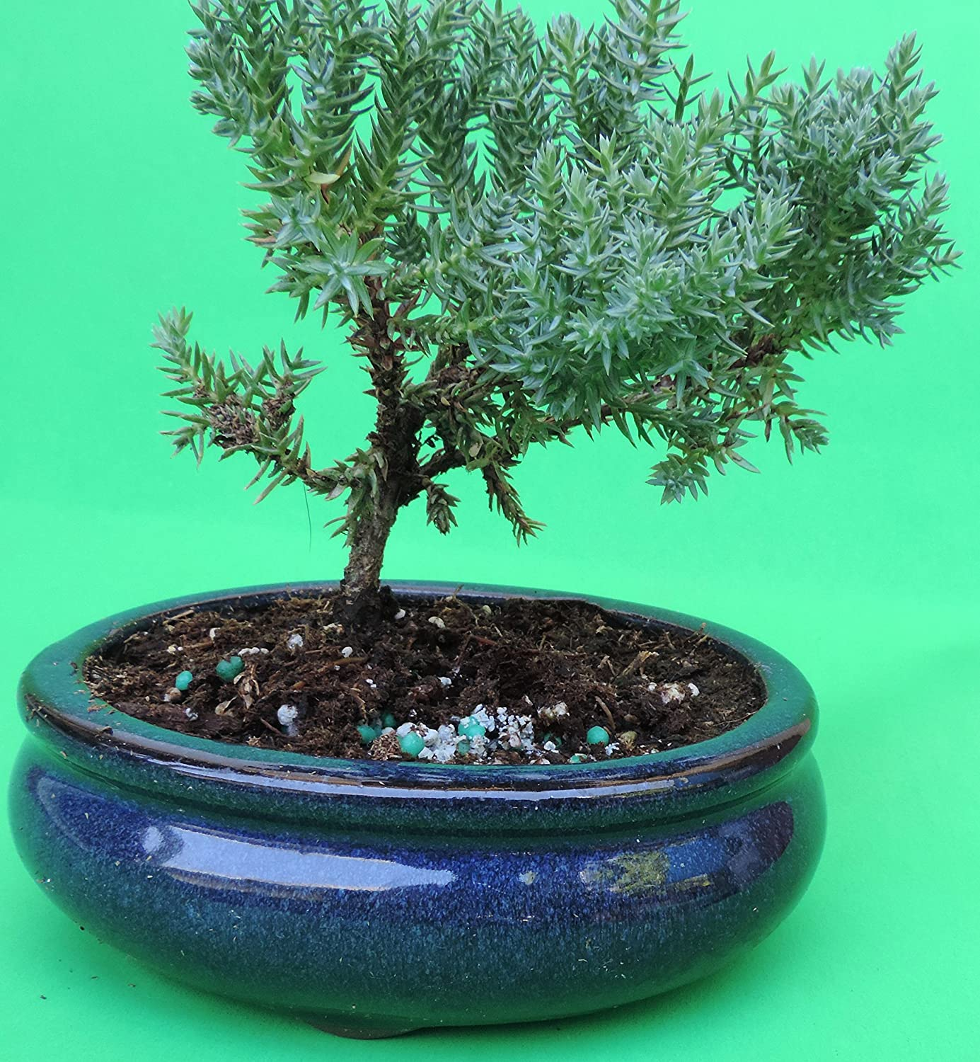 Uncategorized Bonsai Tree Decorations Wiring Schefflera Fertilized Juniper Sold By Jm Bamboo