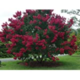 CENTENNIAL SPIRIT Crape Myrtle, Pack of 5, Bright Red, Matures 14'-16' (2-4ft Tall When Shipped, Well Rooted with Pot in Soil) (Color: Bright Red)
