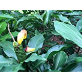 Insulin Plants/Fiery costus/Step Ladder/Spiral Flag,rhizomes-(3 Rhizoms for Growing.
