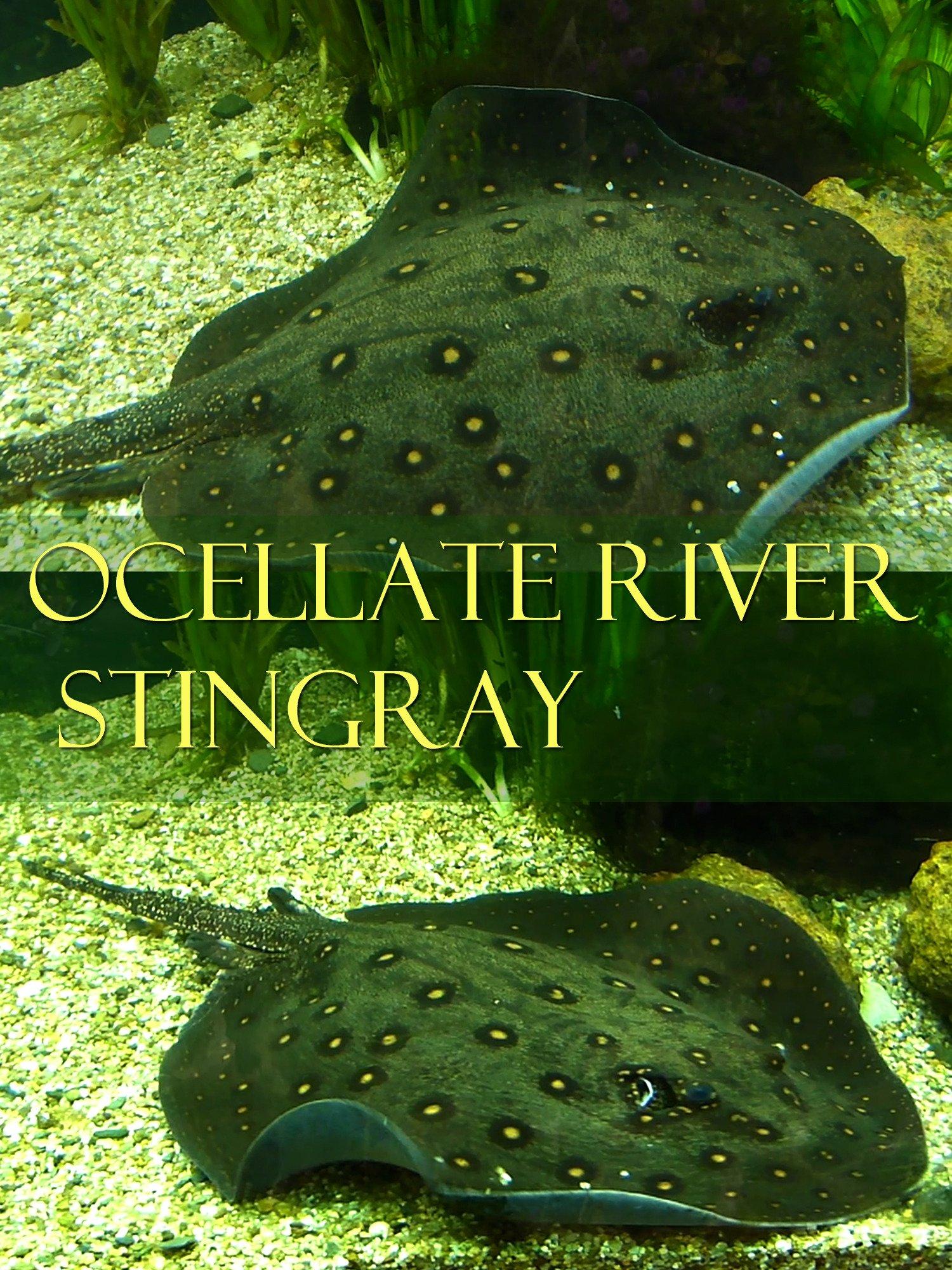 Ocellate river stingray on Amazon Prime Instant Video UK