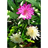 2 Cuttings Orchid Cactus Epiphyllum Oxypetalum, one Pink and one White