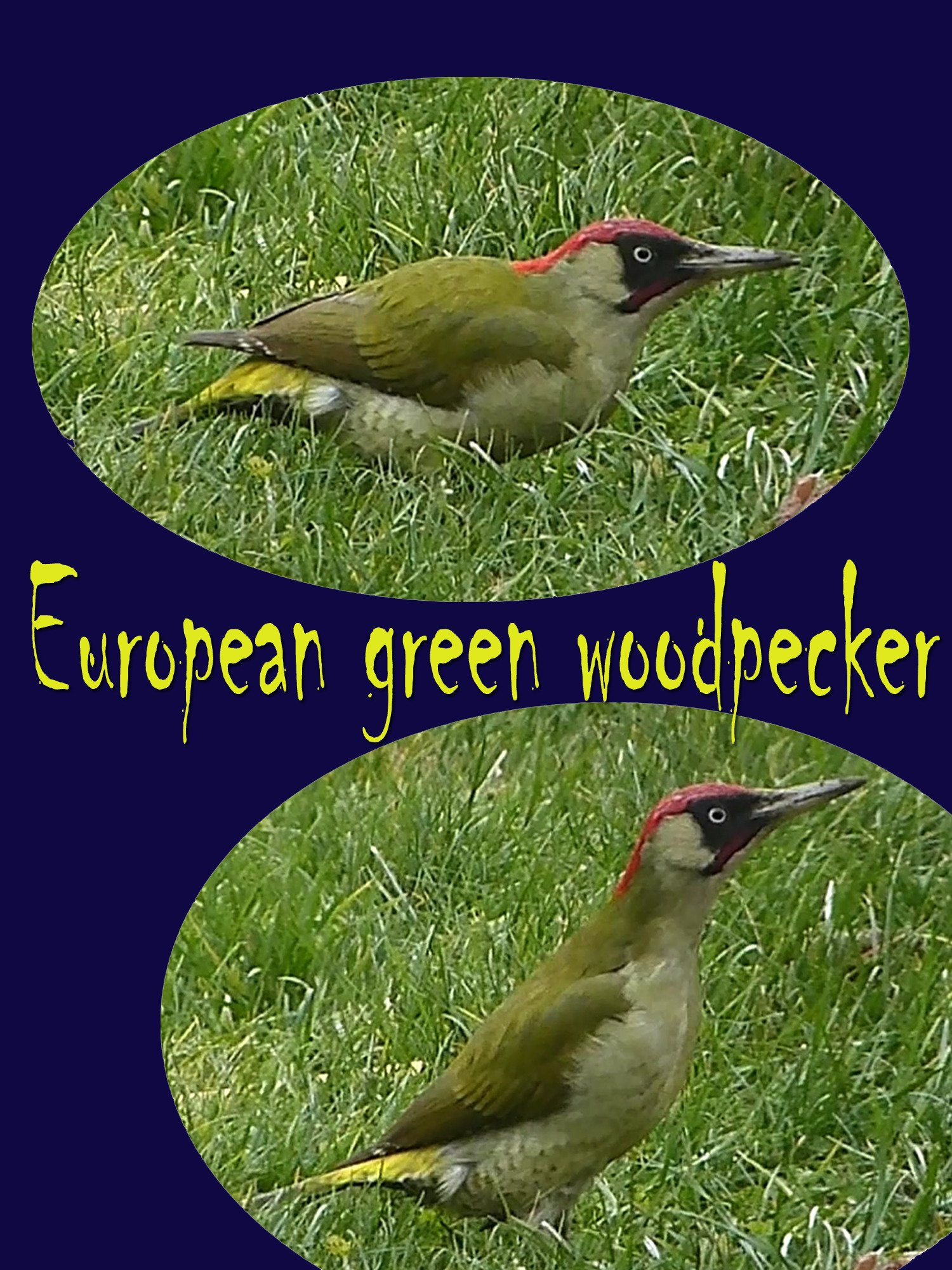 Clip: European green woodpecker