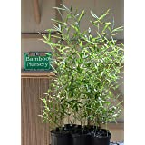 Fast Growing Screening Bamboo -