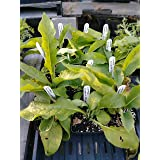 Comfrey, Sympthytum Officinale (Organic) 4in Potted Plant