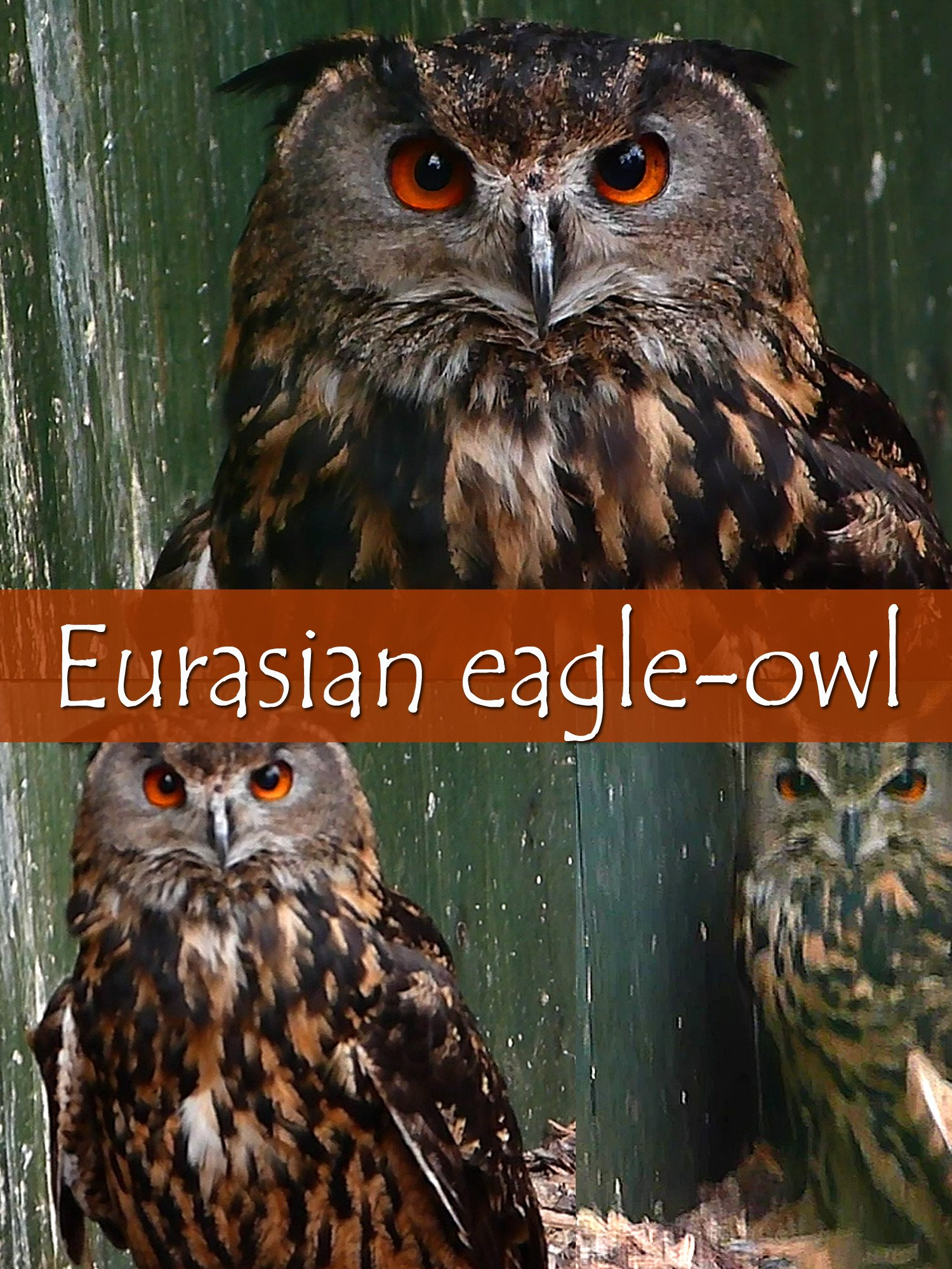 Eurasian eagle-owl on Amazon Prime Instant Video UK