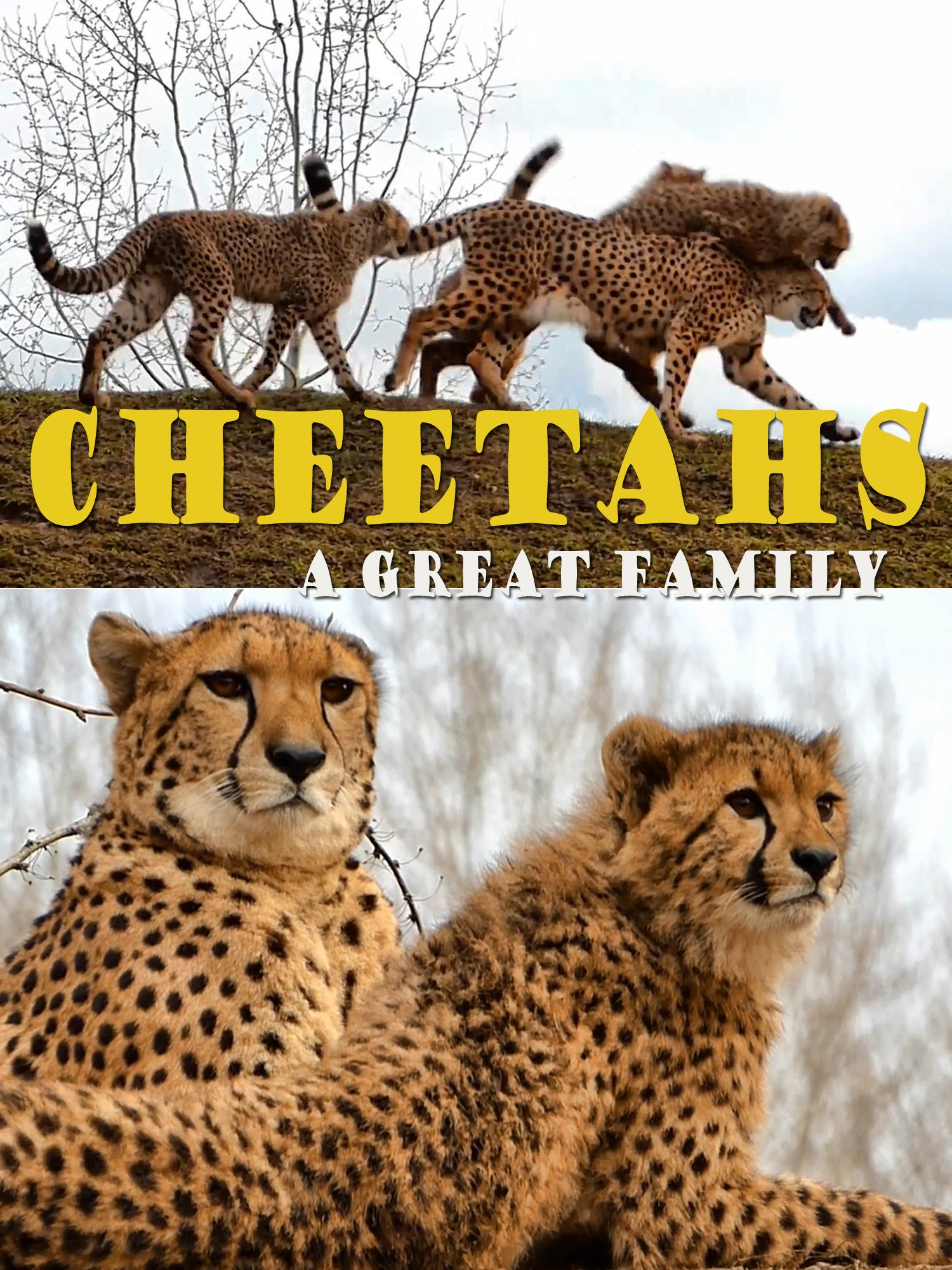 Cheetahs. A great family