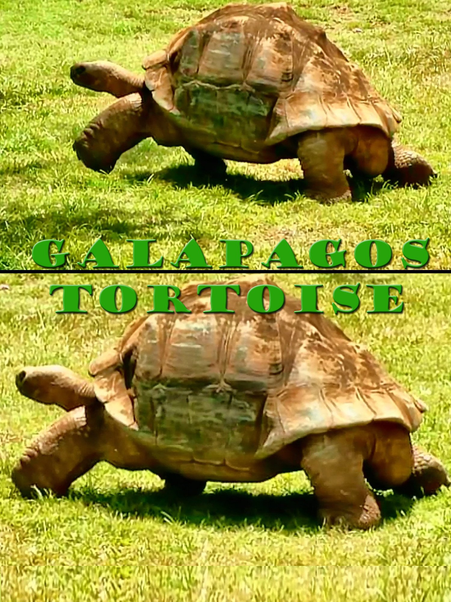 Clip: Galapagos Tortoise