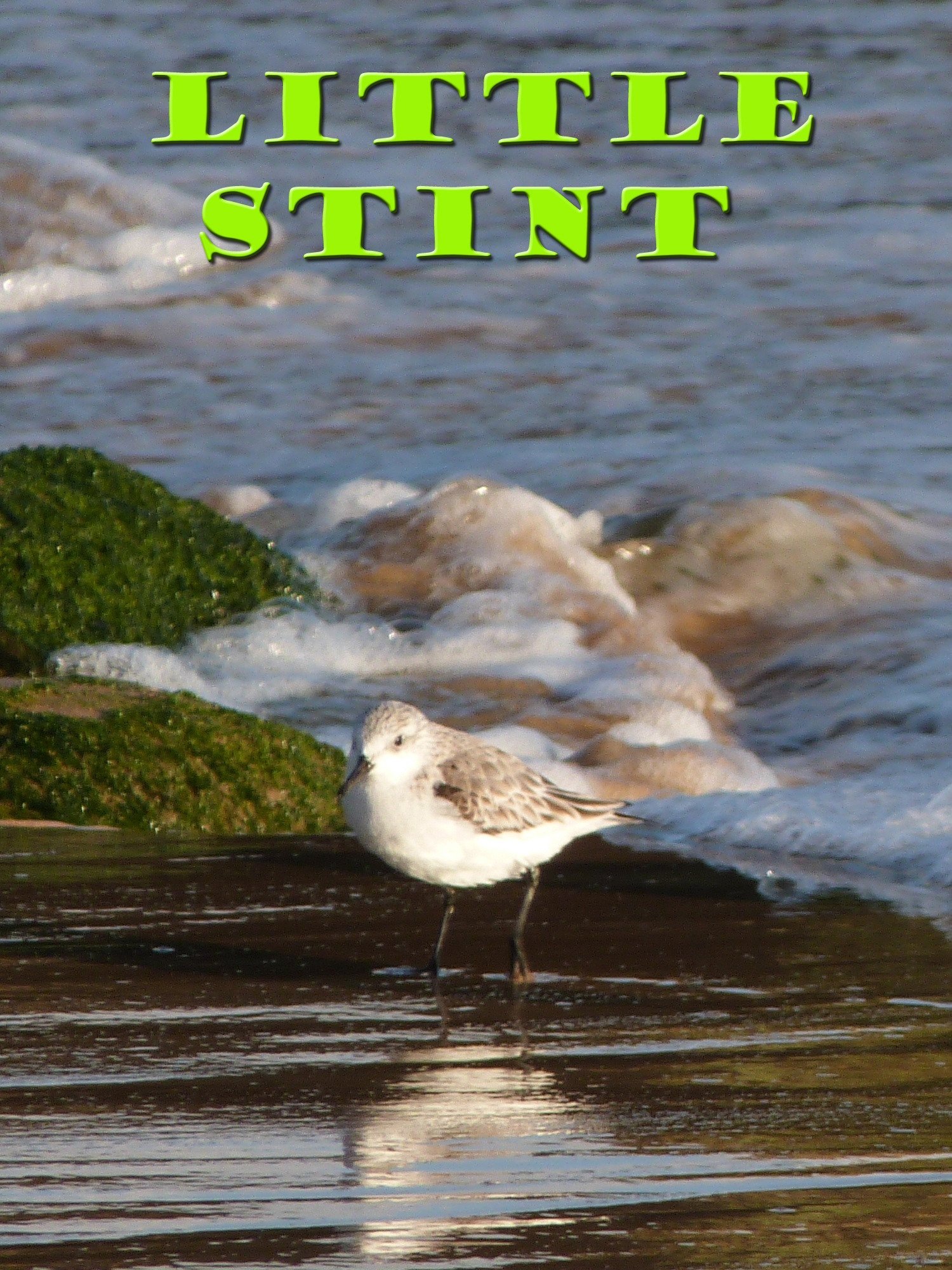 Clip: Little stint