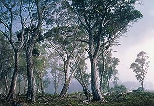 Fototapete National Geographic Fantasy Forest, 368x254cm (BxH), geheimnisvoller Wald im Nebel Tasmaniens.   Überprüfung und weitere Informationen