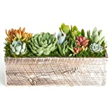 Shop Succulents Succulent Centerpiece-Table Wedding Home Decor-Live Plants in Indoor Planter 12 Inch White
