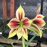 Amaryllis Papilio Butterfly - Exotic Green and Red Amaryllis Bulb - 17 + cm Bulb - Outstanding Indoor Blooms | Ships from Easy to Grow TM (Color: Papilio)