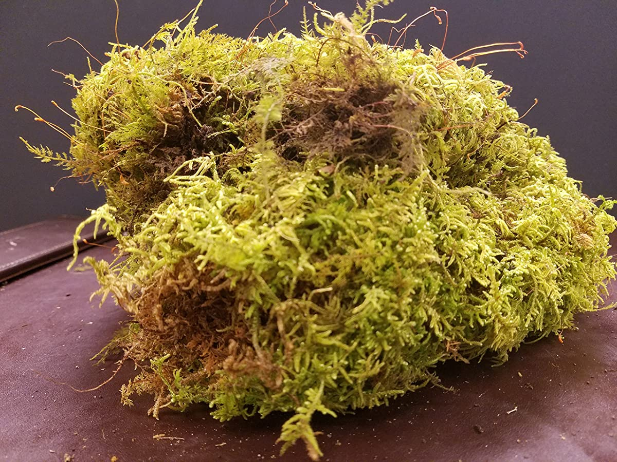 LIVE FERN MOSS / SHEET MOSS FOR TERRARIUMS GARDENS CRAFTS BONSAI 1 Quart