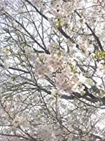 田舎の花: 原爆を生き抜いたシイエ