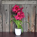 Potted Amaryllis Bulbs Gift - Pink Amaryllis Vera in a Classic White Ceramic Vase!