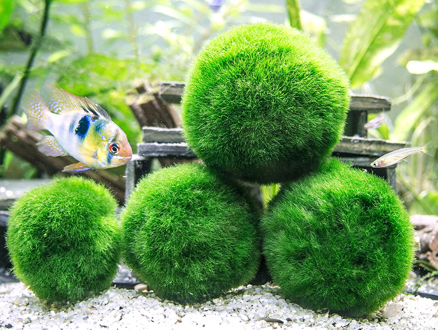 Aquatic Arts 4 Giant 2 to 2.5″ Very High Quality Real Marimo Moss Balls, X-Large