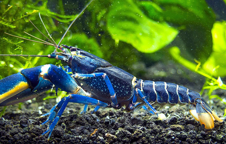 Purple Zebra Shrimp : AquaBid.com - Item # fwinverts1434236406 - 1 Supernova Crayfish - RARE ...