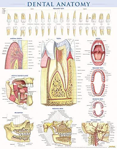 dental-anatomy-quick-study