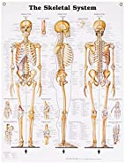 The Skeletal System Anatomical Chart by…