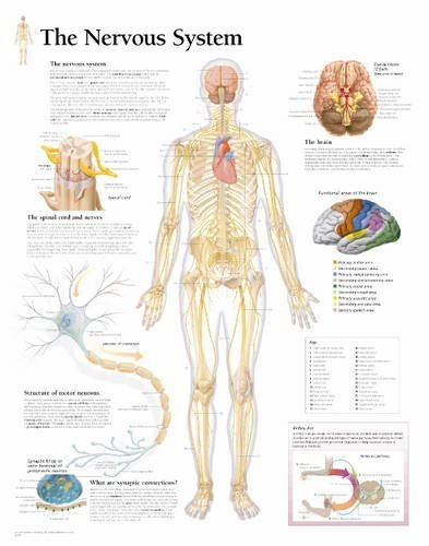 the-nervous-system-chart-laminated-wall-chart