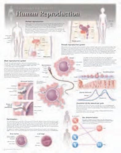 human-reproduction-wall-chart-8500