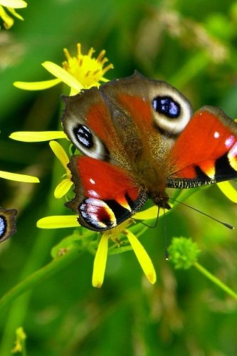 peacock-butterfly-not-150-lined-pages-softcover-6-x-9