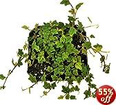 Hirt's Mini Oakleaf Creeping Fig - Terrarium/Topiary/HousePlant