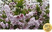 'Little Twist' Flowering Cherry Tree - Prunus - Hardy