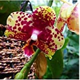 Free Ship Hydroponic Orchid Seeds,indoor Flowers Bonsai Four Seasons,Phalaenopsis Orchids - 40 Seeds Seeds - B01LYYWQMG