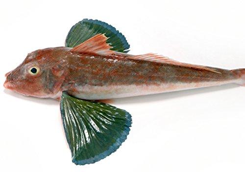 築地魚群 天然 ホウボウ1尾 国産 0.5-1kg前後サイズ