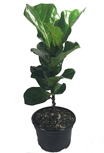 Fiddleleaf Fig Stylized Tree Shape - Ficus - Great Indoor Tree - Easy - 8