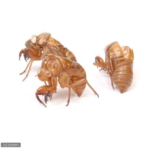 (昆虫)セミの抜け殻(5個) 本州・四国限定[生体]