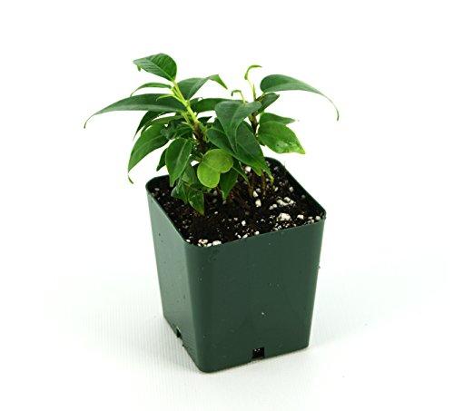 Ficus benjamina 'Evergreen'