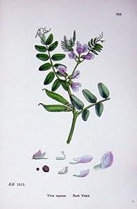 Zaun-Wicke Botanik Pflanzt Vicia C1902 Sepium-Blumen