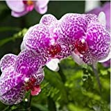 Free Ship Hydroponic Orchid Seeds,indoor Flowers Bonsai Four Seasons,Phalaenopsis Orchids - 40 Seeds Seeds