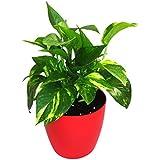 GreenLands Money Plant Gold King Indoor Plant In Plastic Planter - B01IPAP5IS