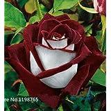 50 Abracadabra Rose Seeds,rare . ,Osiria Rose Gorgeous Flower . The Lover Rose Seed Bonsai Planting Roses.