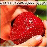 Fruit Seeds 300pcs Super Giant Strawberry Perfume Bonsai Strawberry Fruit, Edible Strawberry Seeds For Home Garden...