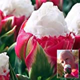 1pcs Double Petal Pink White Ice Cream Tulip Bulb Garden Courtyard Tulipa Gesneriana Seed