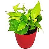 GreenLands Scindapsus Golden Indoor Plant In Red Color Plastic Planter
