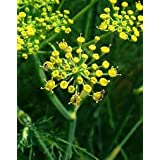 FENNEL WILD COMMON ! HERB SEEDS ! PACK OF 10 ! BY DIVYA SEEDS **
