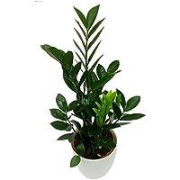 GreenLands Zamea Palm Indoor Plant In White Color Plastic Planter