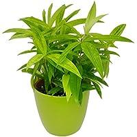 GreenLands Dreacena Golden Indoor Plant In Green Color Plastic Planter