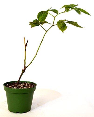 9GreenBox - Natchez Thornless Blackberry Fruit Plant Gift