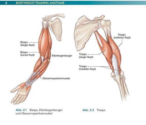 Bodyweight Training Anatomie: Fit werden ohne Geräte, gezielter ...